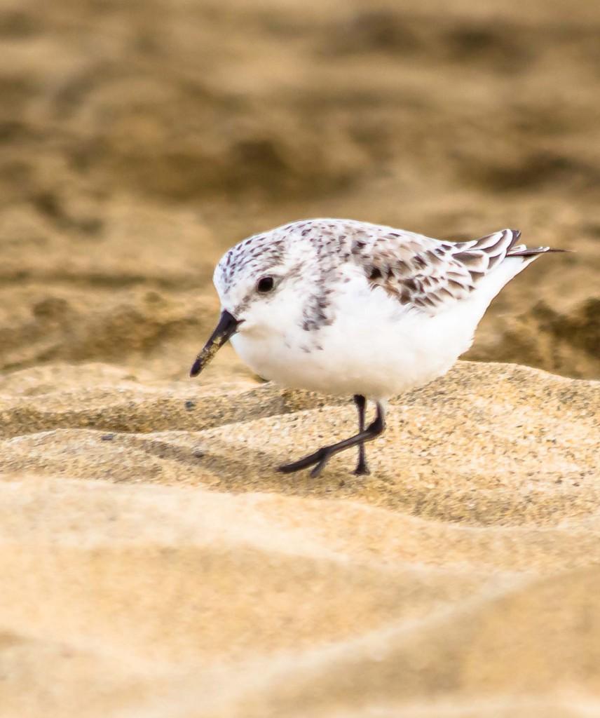 Песчанка — Crocethia alba
