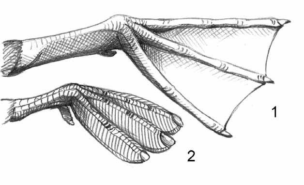 Анатомическое строение ног гагар и поганок