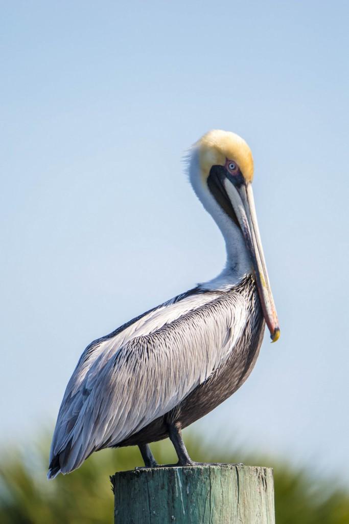 Американский бурый пеликан — Pelecanus occidentalis