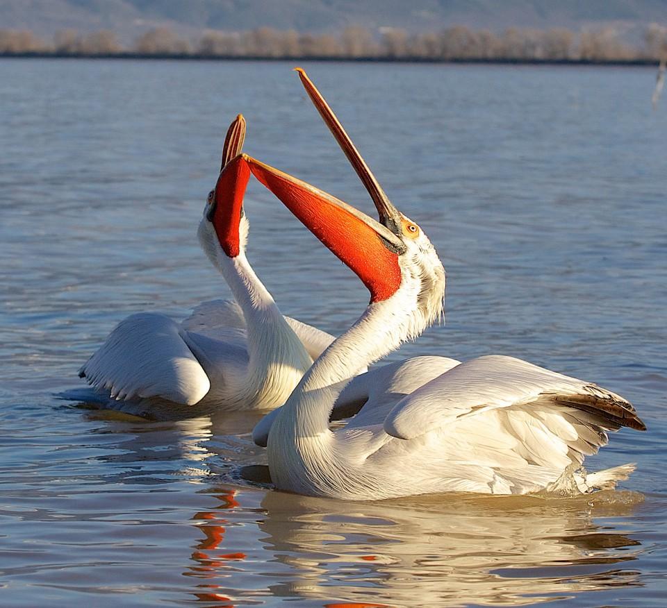 Кудрявый пеликан — Pelecanus crispus