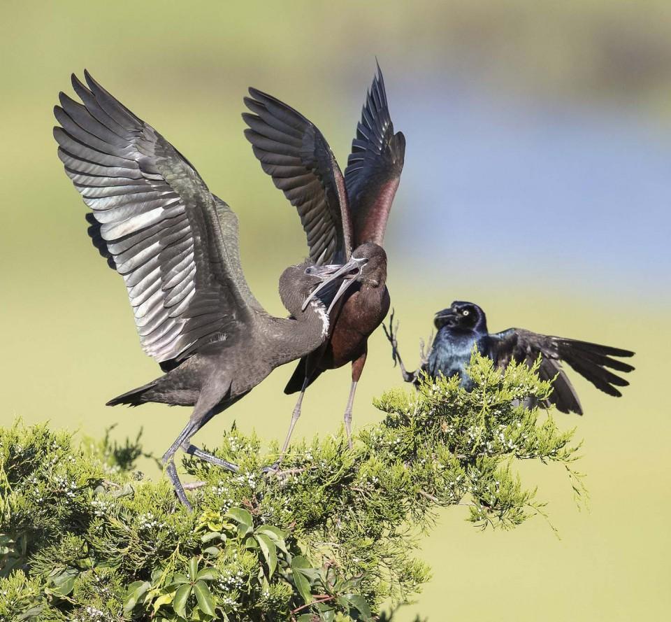 Каравайка — Plegadis falcinellus