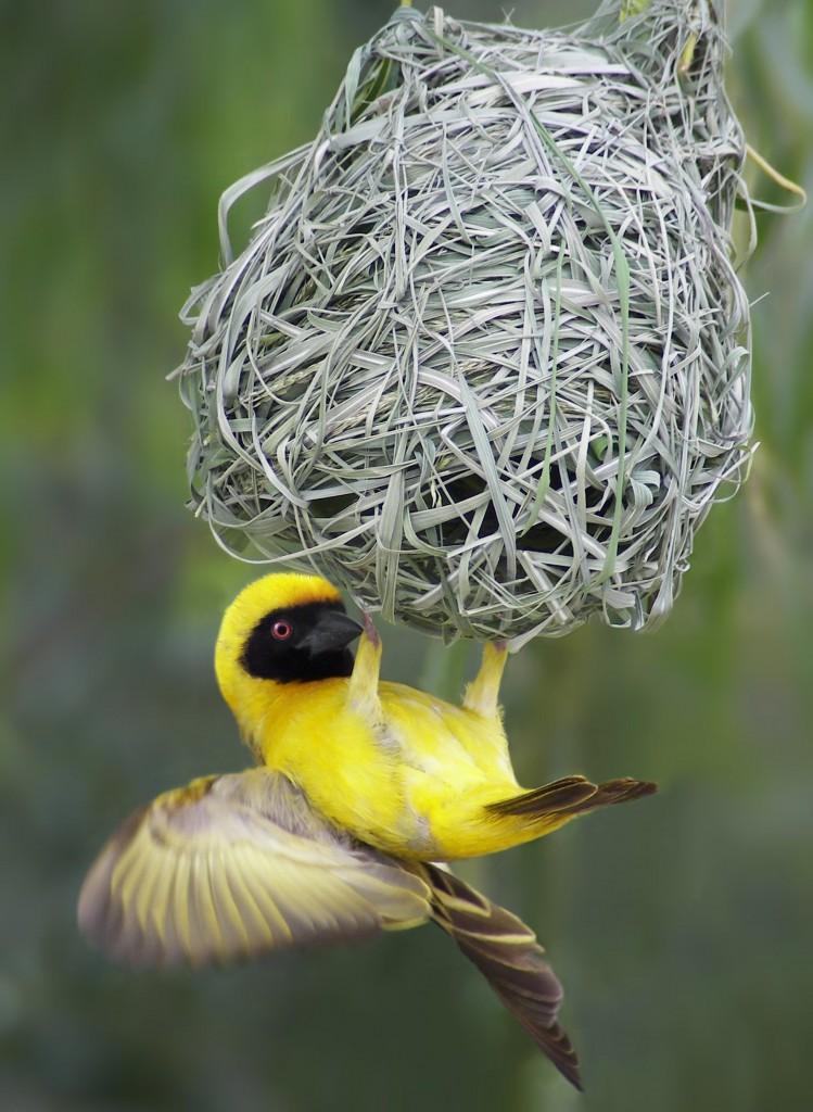Чернолобый ткач (Ploceus velatus) и его гнездо