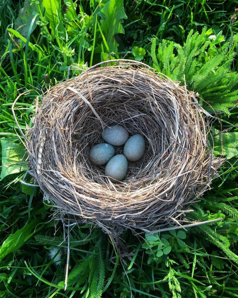 Птичье гнездо сяйцами