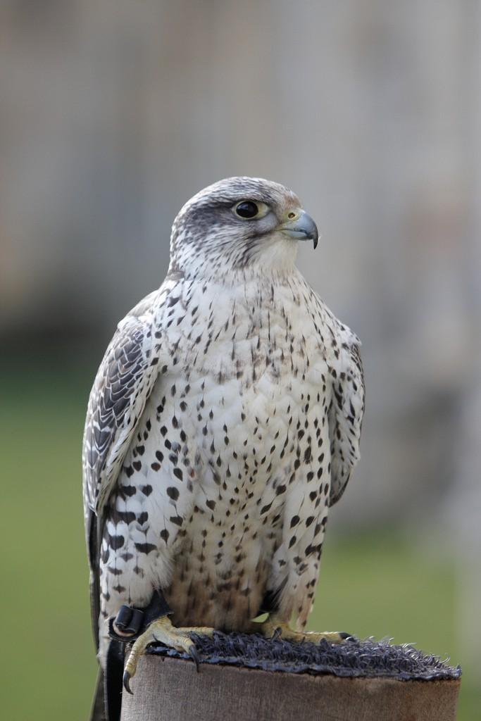 Кречет — Falco rusticolus