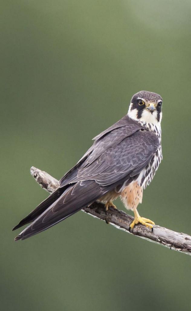Чеглок — стремительный охотник — Falco subbuteo