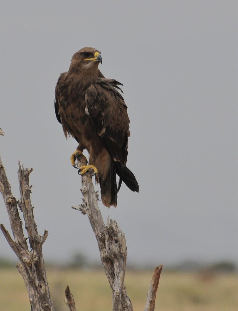 Степной орёл — Aquila nipalensis