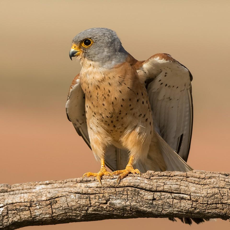 Пустельга степная — Falco naumanni
