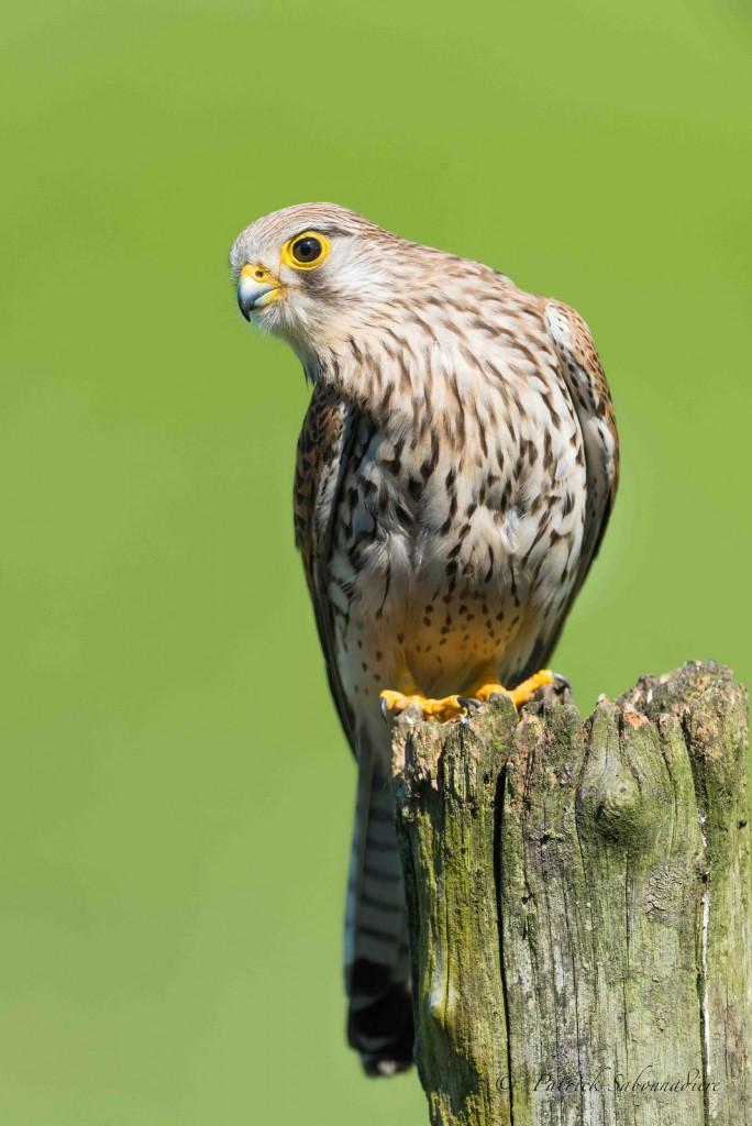 Пустельга обыкновенная — Falco tinnunculus