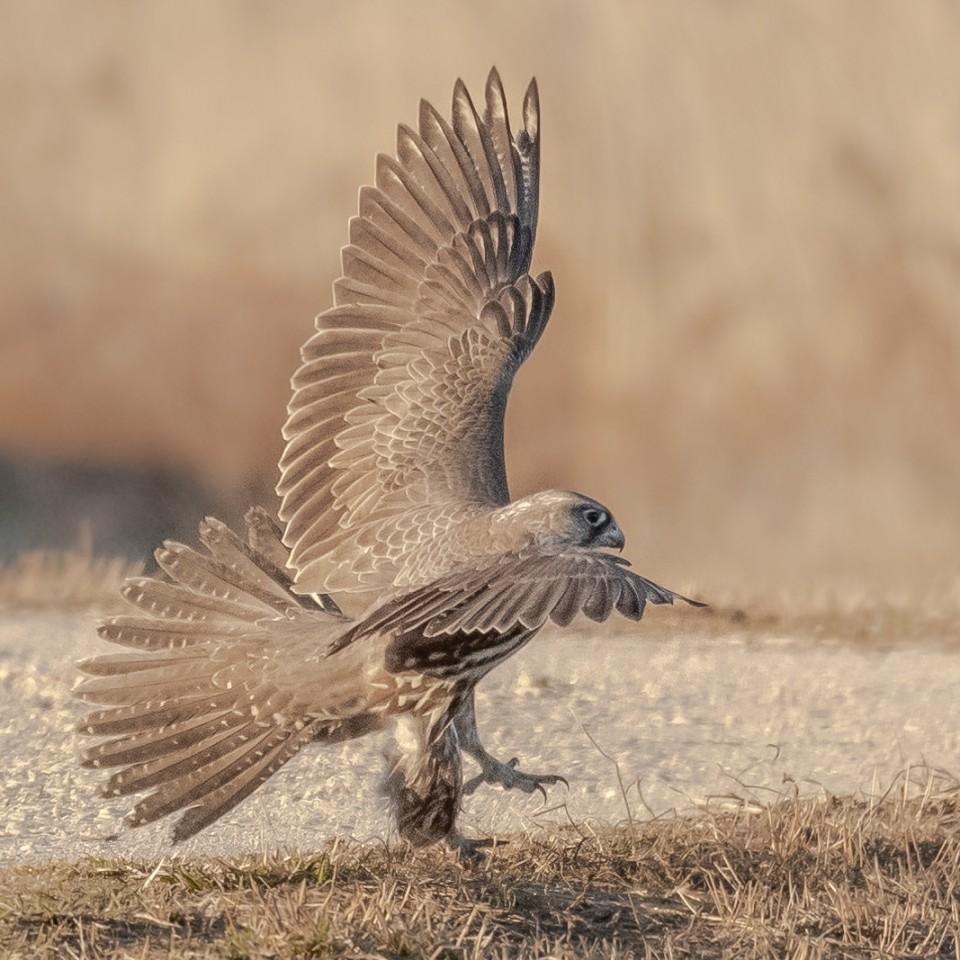 Кречет — Falco gyrfalco