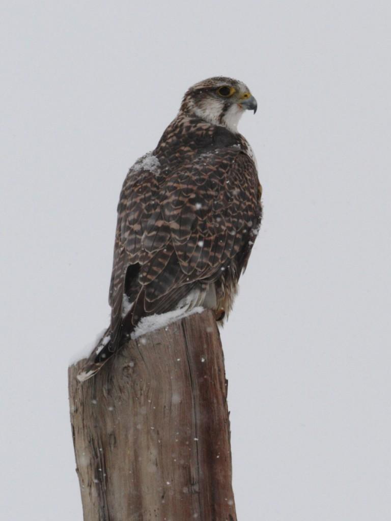 Алтайский кречет — Altai Falcon