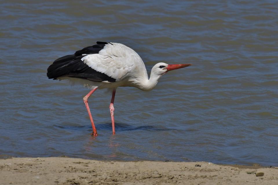 Белый аист — Ciconia ciconia