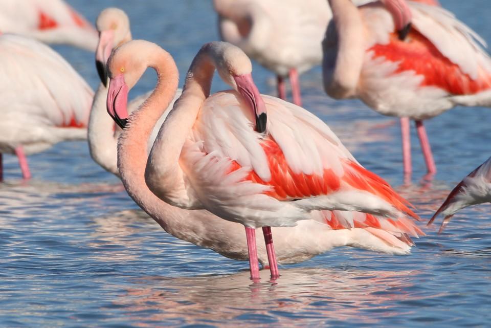 Розовый фламинго — Phoenicopterus roseus