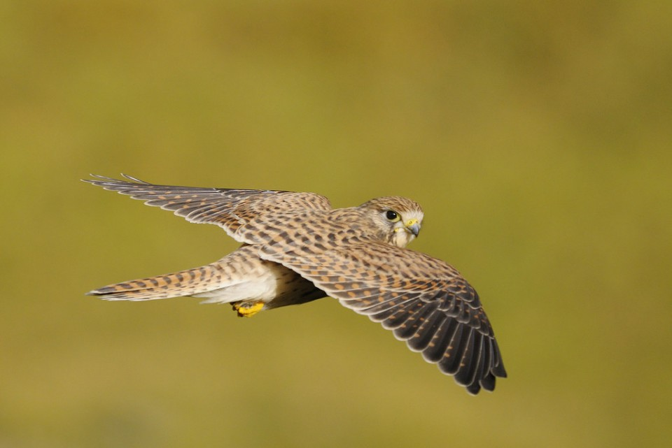 Пустельга — Falco tinnunculus
