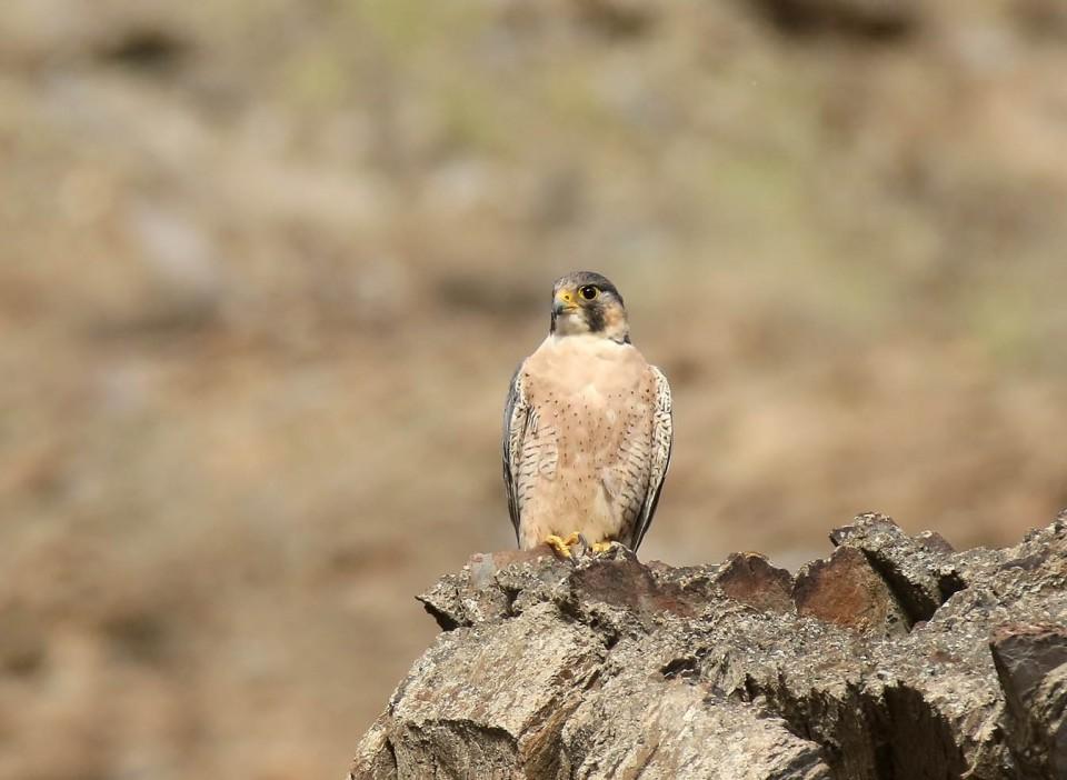 Шахин — Falco pelegrinoides