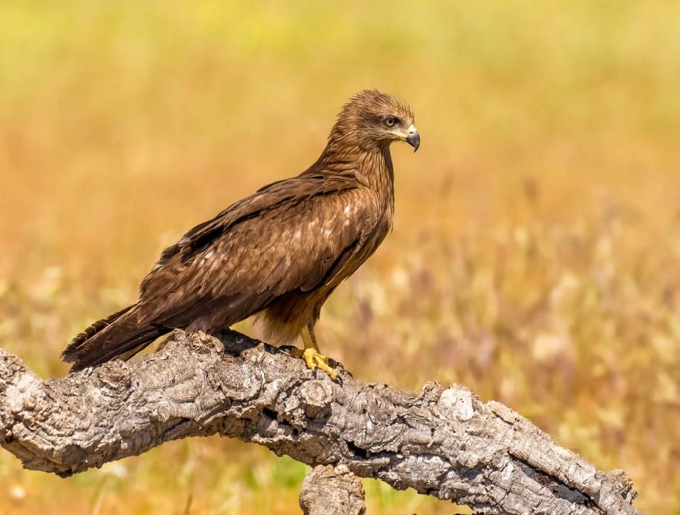Чёрный коршун — Milvus migrans