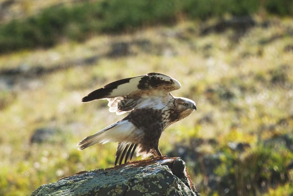 Мохноногий курганник — Buteo hemilasius