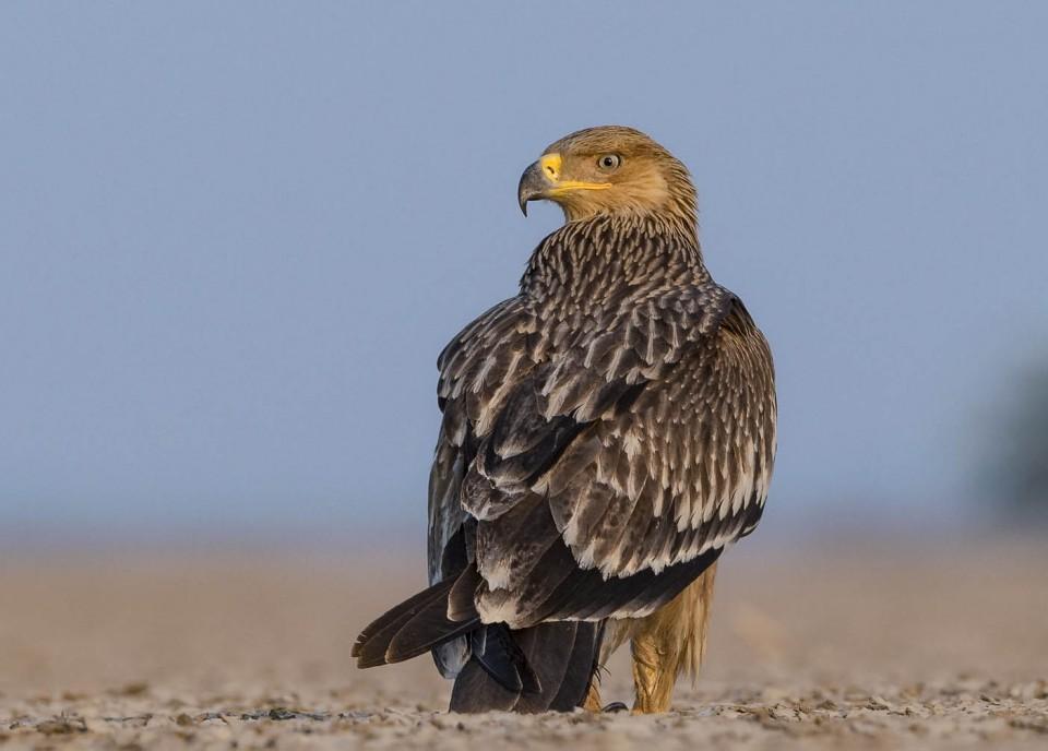Могильник — Aquila heliaca