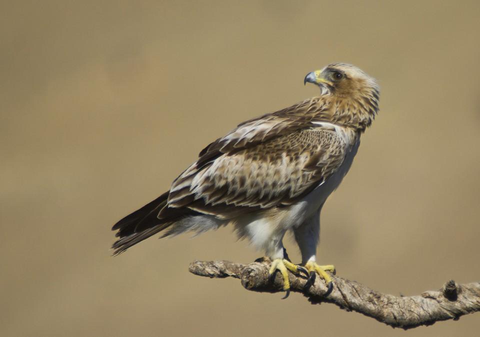 Орёл-карлик — Hieraaetus pennatus