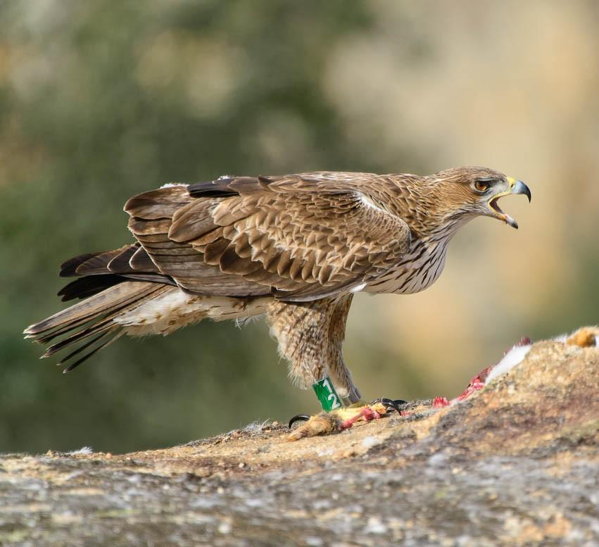 Ястребиный орёл — Hieraaetus fasciatus