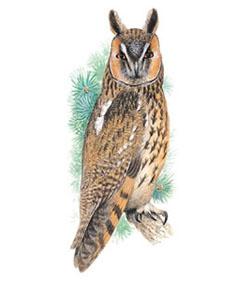 Ушастая сова asio otus long eared owl
