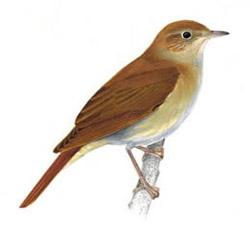 Южный соловей luscinia megarhynchos nightingale