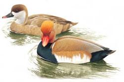 Красноносый нырок netta rufina red crested pochard