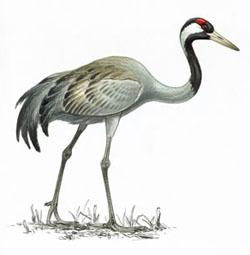 Серый журавль / Grus grus / Crane / Птицы Европы