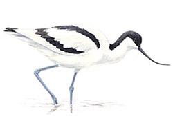 Латинское название recurvirostra avosetta