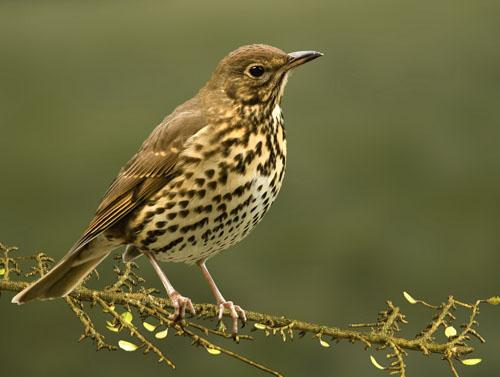 Певчий дрозд / Turdus philomelos / Song thrush / Птицы Европы