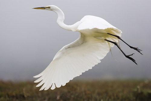 Большая белая цапля / Casmerodius albus [Egretta alba] / Great ...