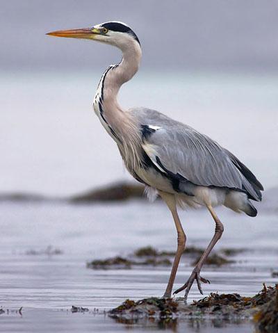 Серая цапля / Ardea cinerea / Grey heron / Птицы Европы