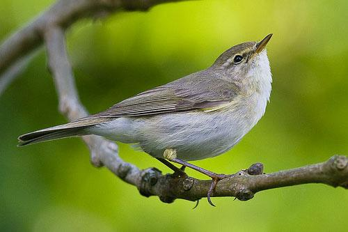 Пеночка-весничка / Phylloscopus trochilus / Willow warbler / Птицы Европы