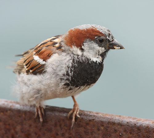 Домовой воробей / Passer domesticus / House sparrow / Птицы Европы
