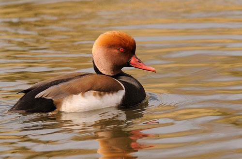 Красноносый нырок / Netta rufina / Red-crested pochard / Птицы Европы