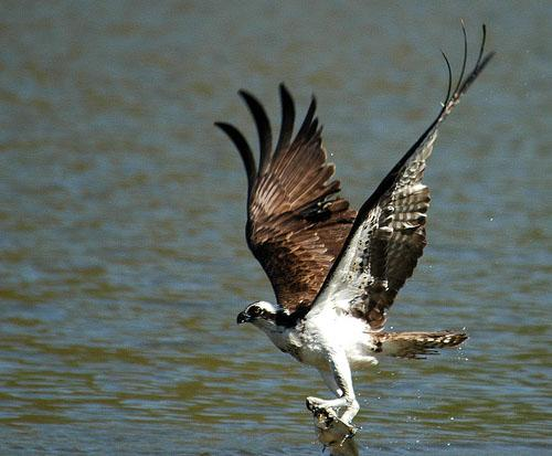 Скопа / Pandion haliaetus / Osprey / Птицы Европы