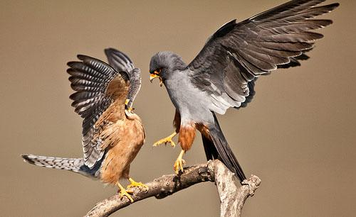 Кобчик / Falco vespertinus / Red-footed falcon / Птицы Европы