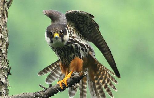 Чеглок фото (Falco subbuteo)