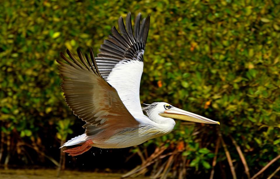 Розовый пеликан — Pelecanus onocrotalus