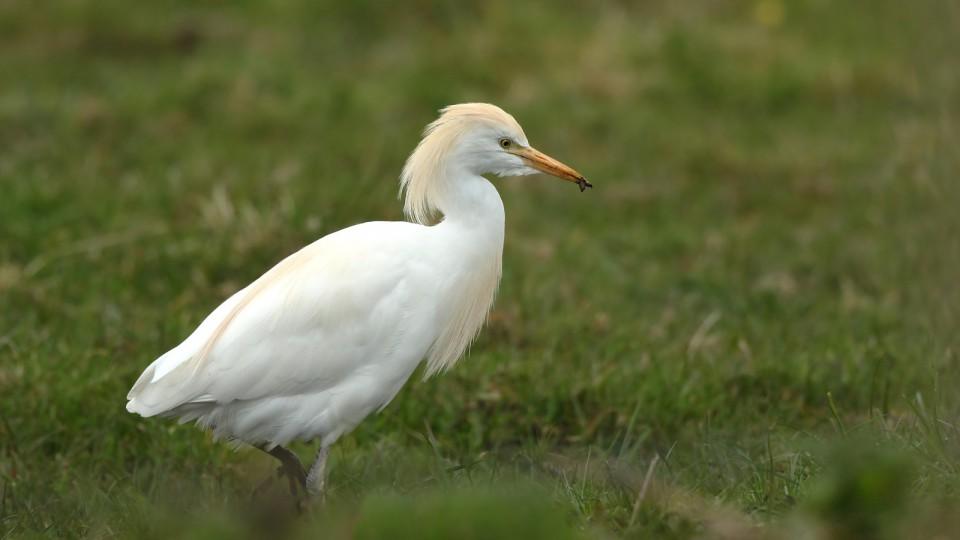 Египетская цапля — Bubulcus ibis