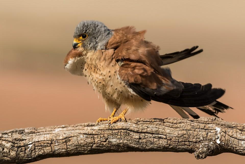 Степная пустельга — Falco naumanni