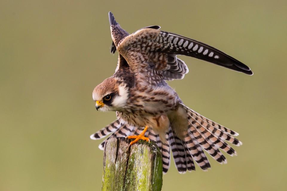 Кобчик — Falco vespertinus