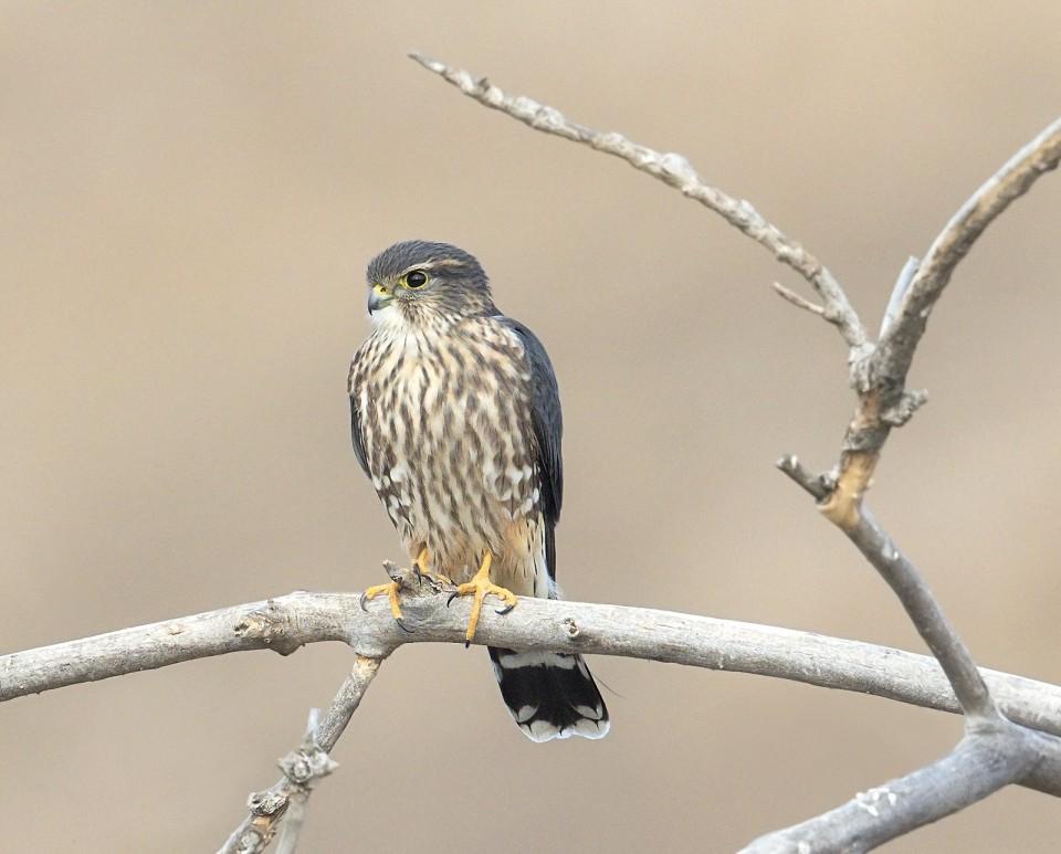 Дербник — Falco columbarius