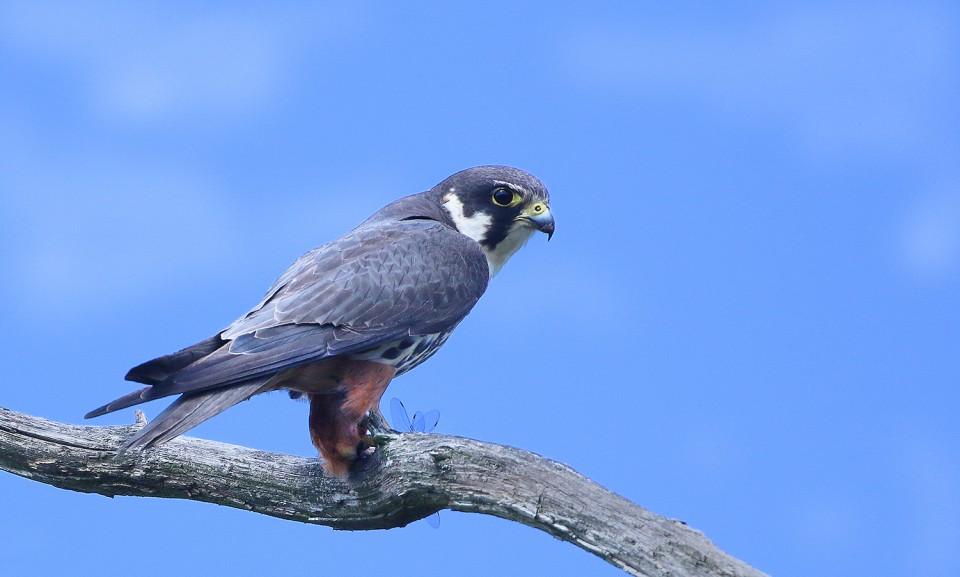 Чеглок — Falco subbuteo