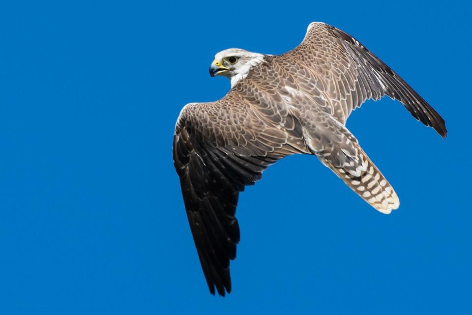 Балобан — Falco cherrug