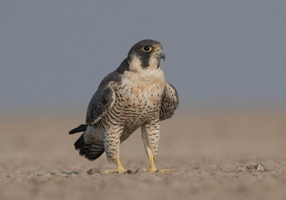 Сапсан — Falco peregrinus