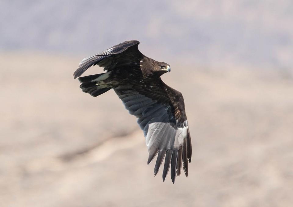 Большой подорлик — Aquila clanga