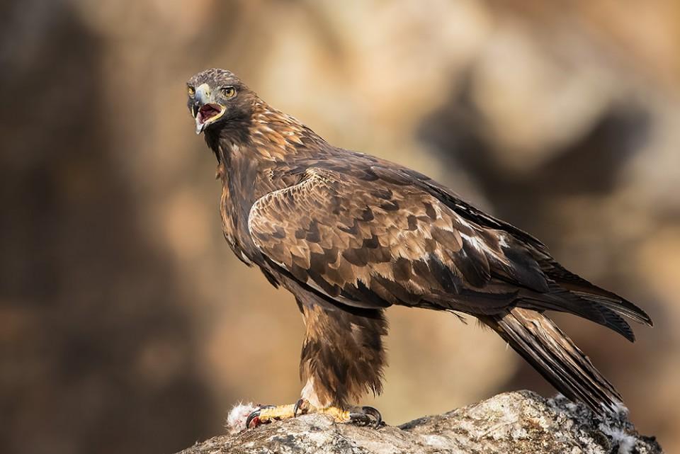 Беркут — Aquila chrysaetos
