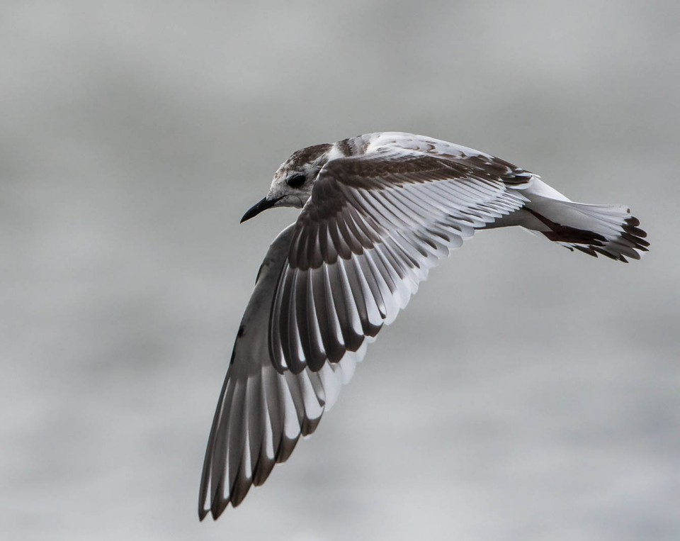 Малая чайка— Larus minutus