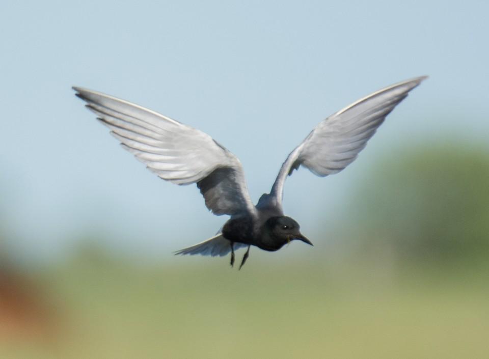 Чёрная крачка— Chlidonias niger