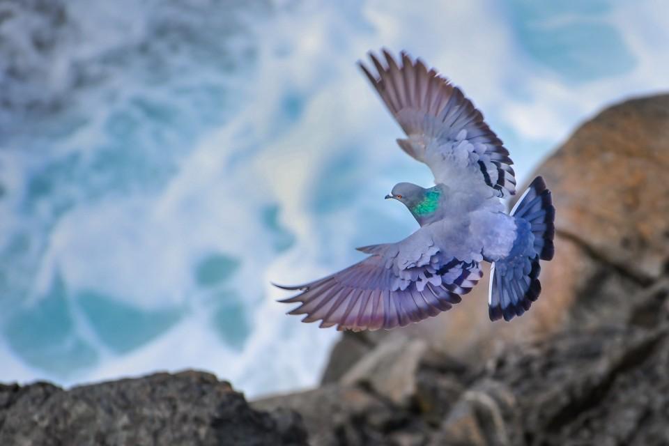 Сизый голубь— Columba livia